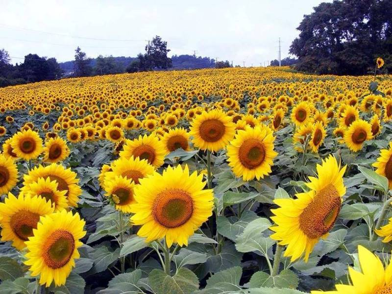 The Sunflowers Are Back On Route 33